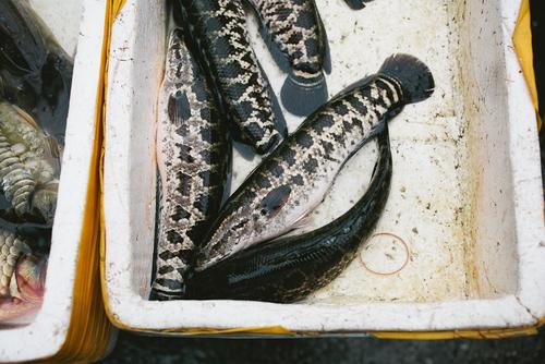 This is a snakehead. It's an invasive species in the States, brought over by Chinese...