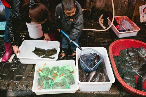 A child plays with catfish and softshell turtles, a turtle raised for food.