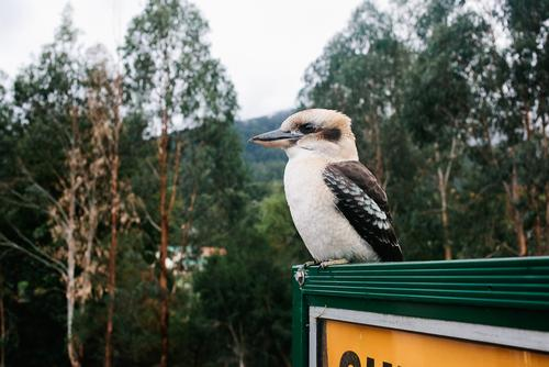 But the highlight of the day was the Kooka' that let me get inches from it. Birds are good omens...