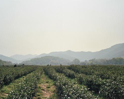 Horizon 03 - Tea fields.