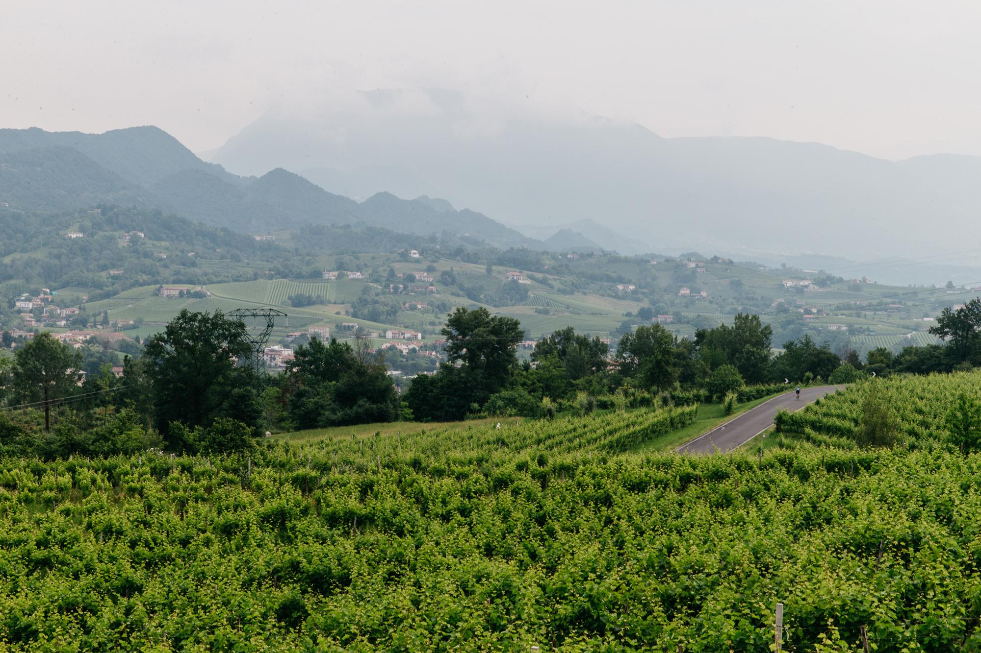 .... fields of vines