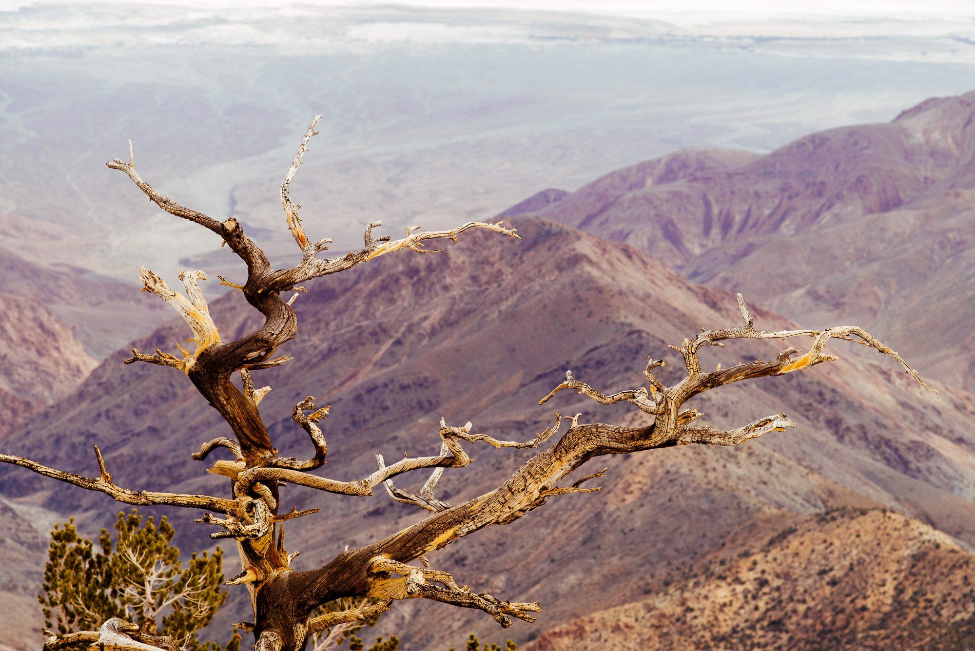 Bristlecone Pine Study 01