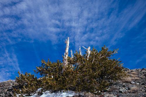 Bristlecone Pine Study 03