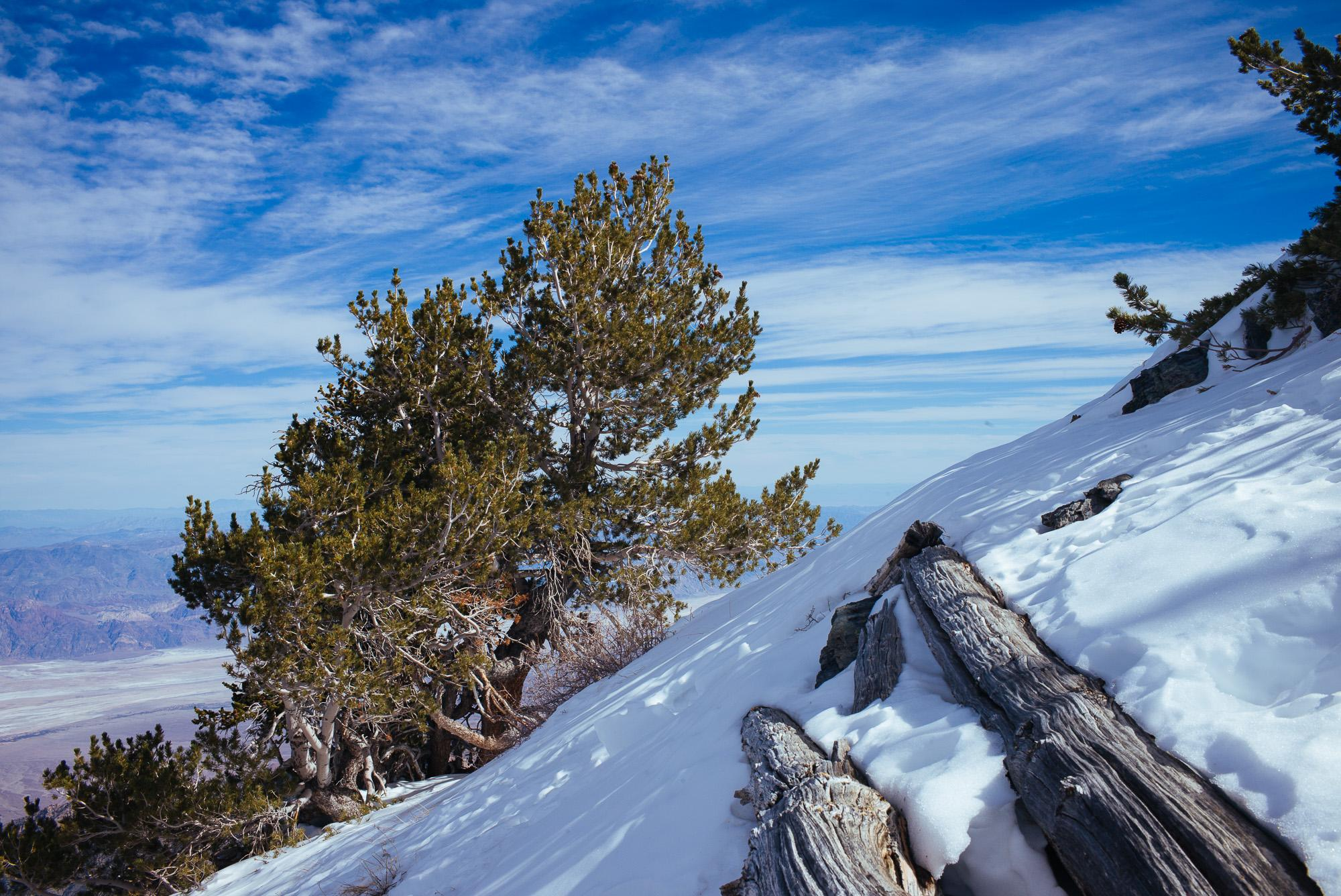 Bristlecone Pine Study 04