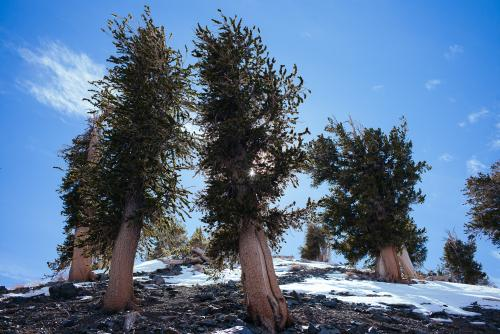 Bristlecone Pine Study 06