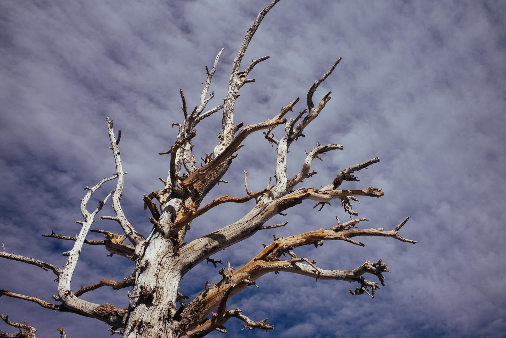 Bristlecone Pine Study 07