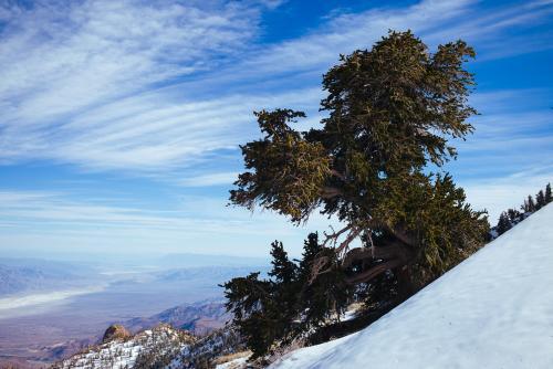 Bristlecone Pine Study 08