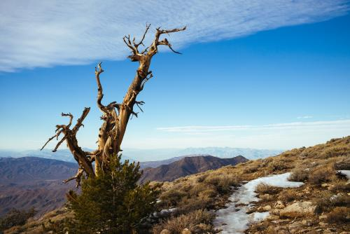 Bristlecone Pine Study 10