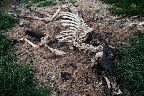 Dead moose.