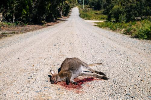 C'Mon bugga! Factoid: over 75% of Tassie auto insurance claims are from rental cars striking wild life. Slow down and save a cuddly wallaby!