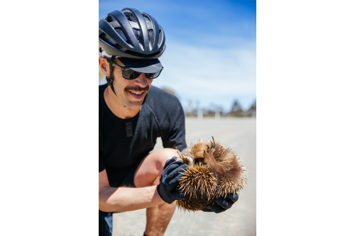 Moving an echidna from the street.