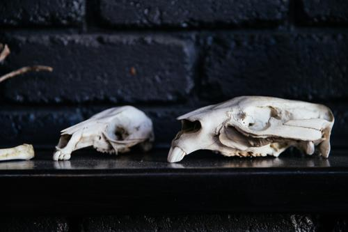 Wallaby and wombat skulls.