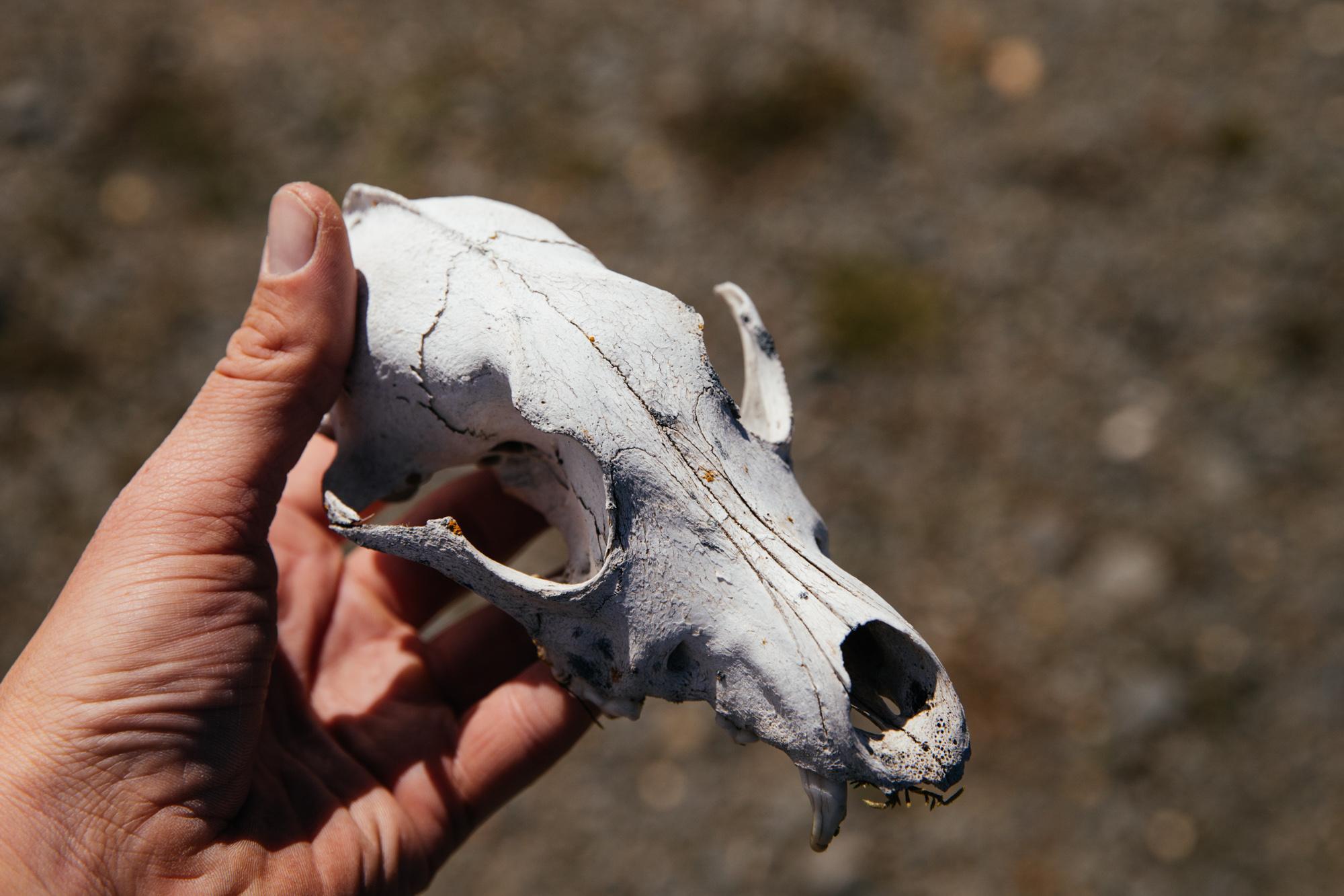 Quoll  skull.