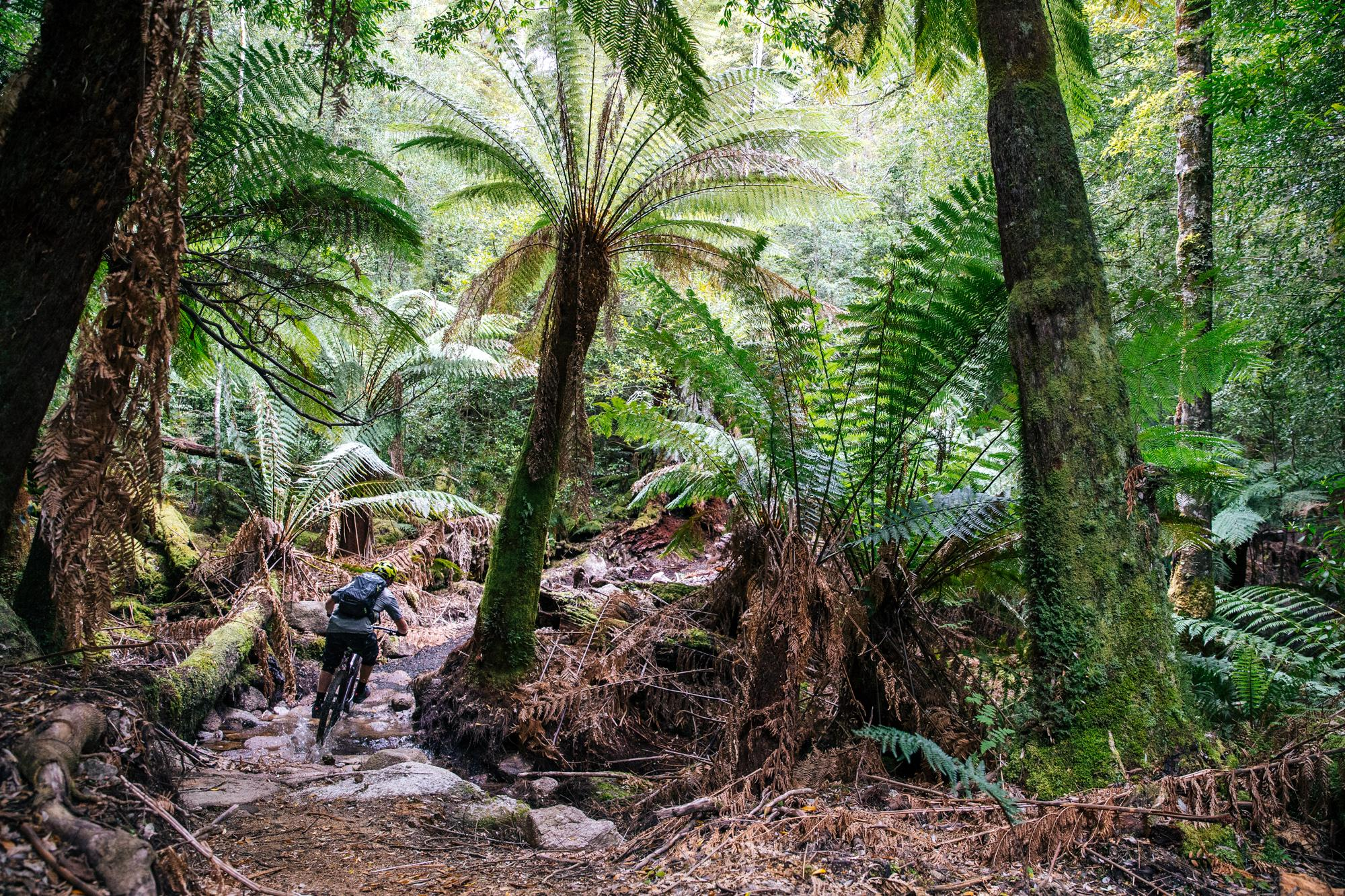 These Tassie Tree Ferns grow a centimeter a year...
