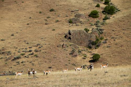 Pronghorn antelope. Fastest ungulates in the west.