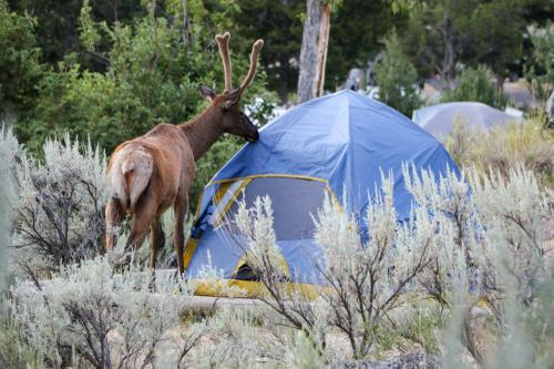 Not many campers were awake, which means the elk were...