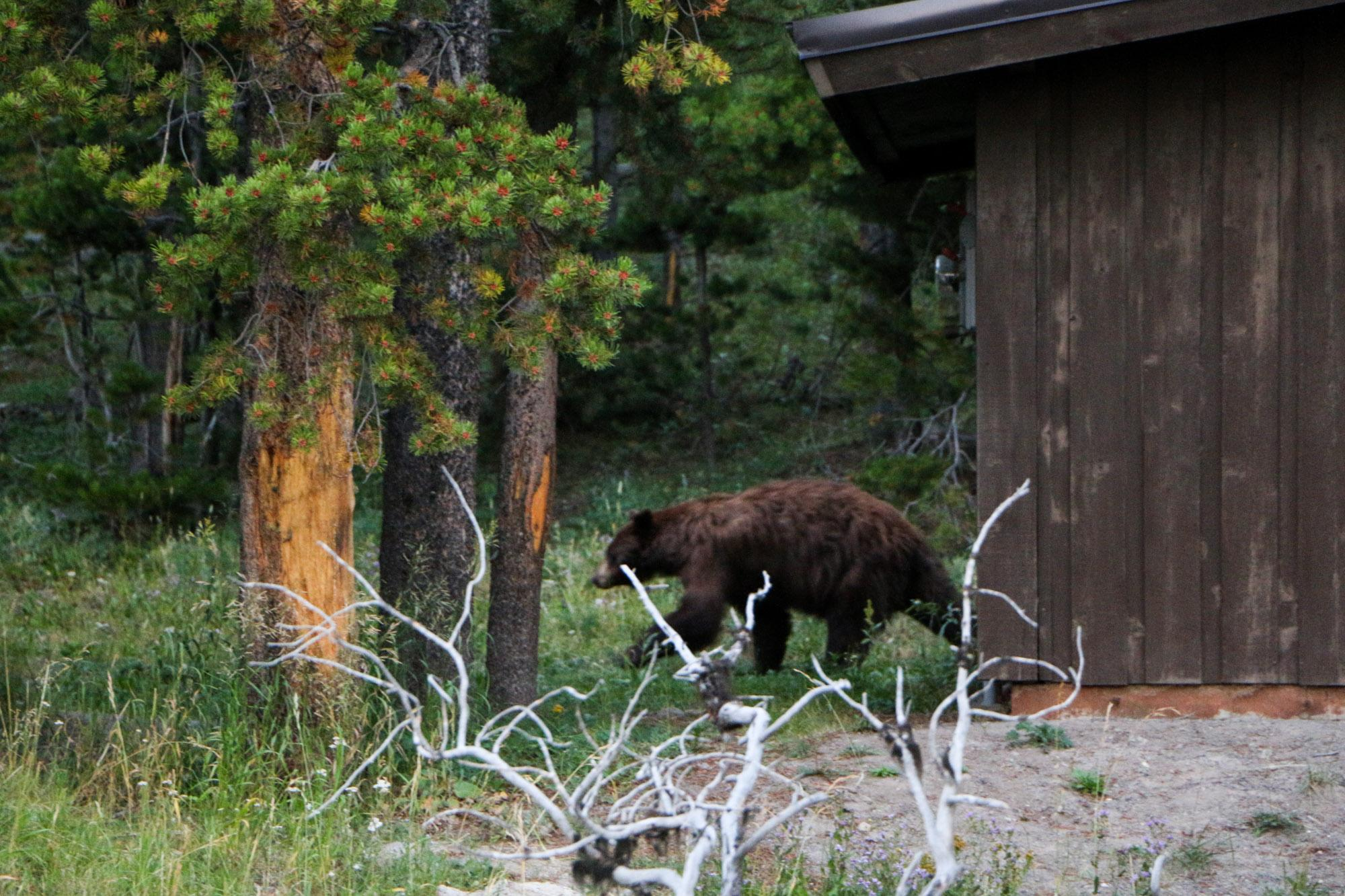 The only bear we saw in Yellowstone.