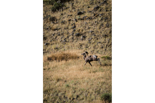 This impressively muscular dude ran right across the road in front of us. We didn't see another bighorn.
