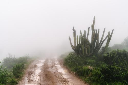 Cacti in the mist