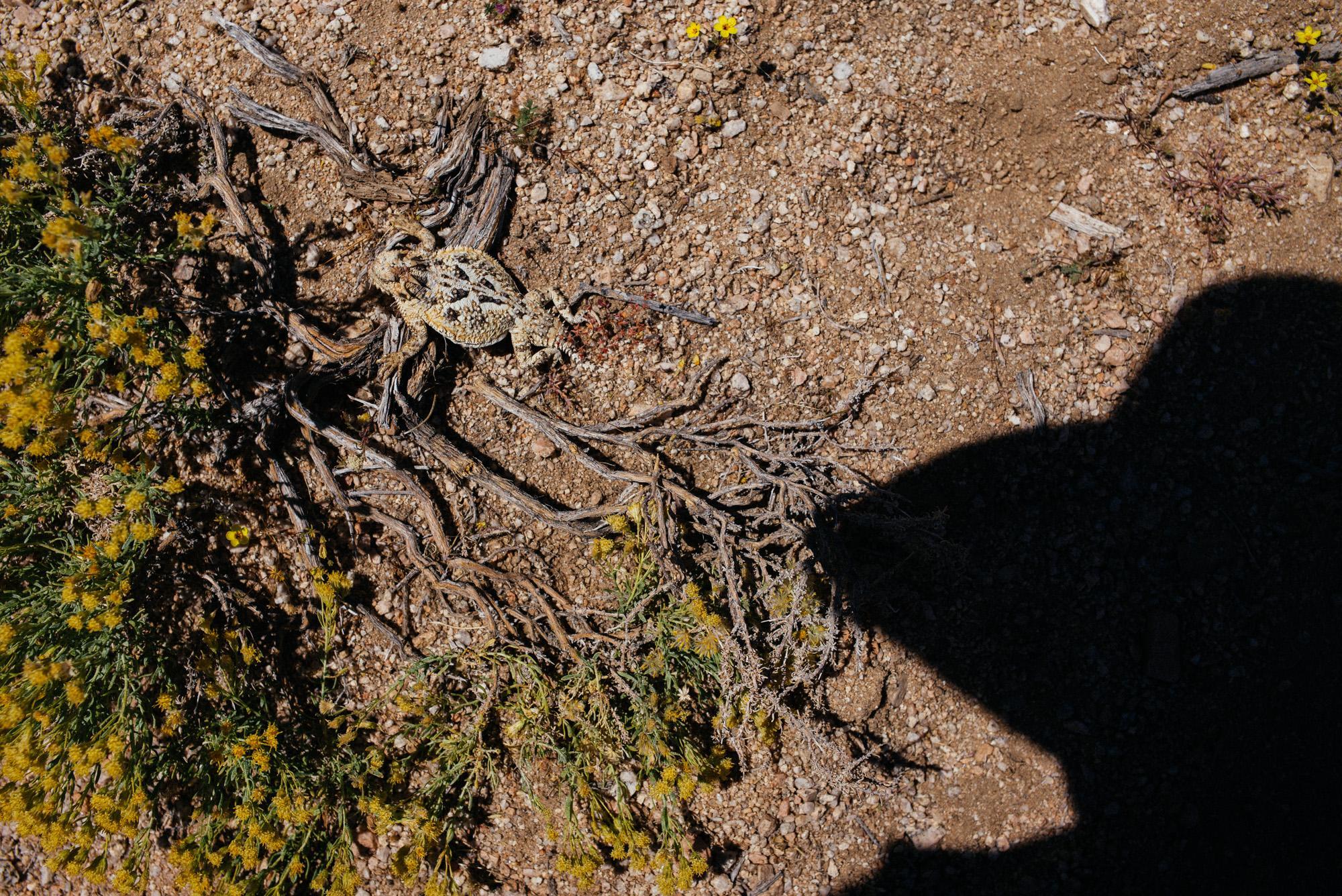Desert horned lizard, chilling.