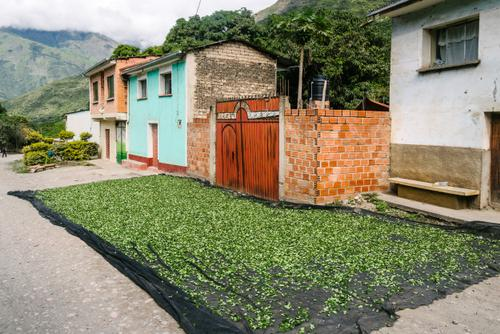 Coca leaves drying