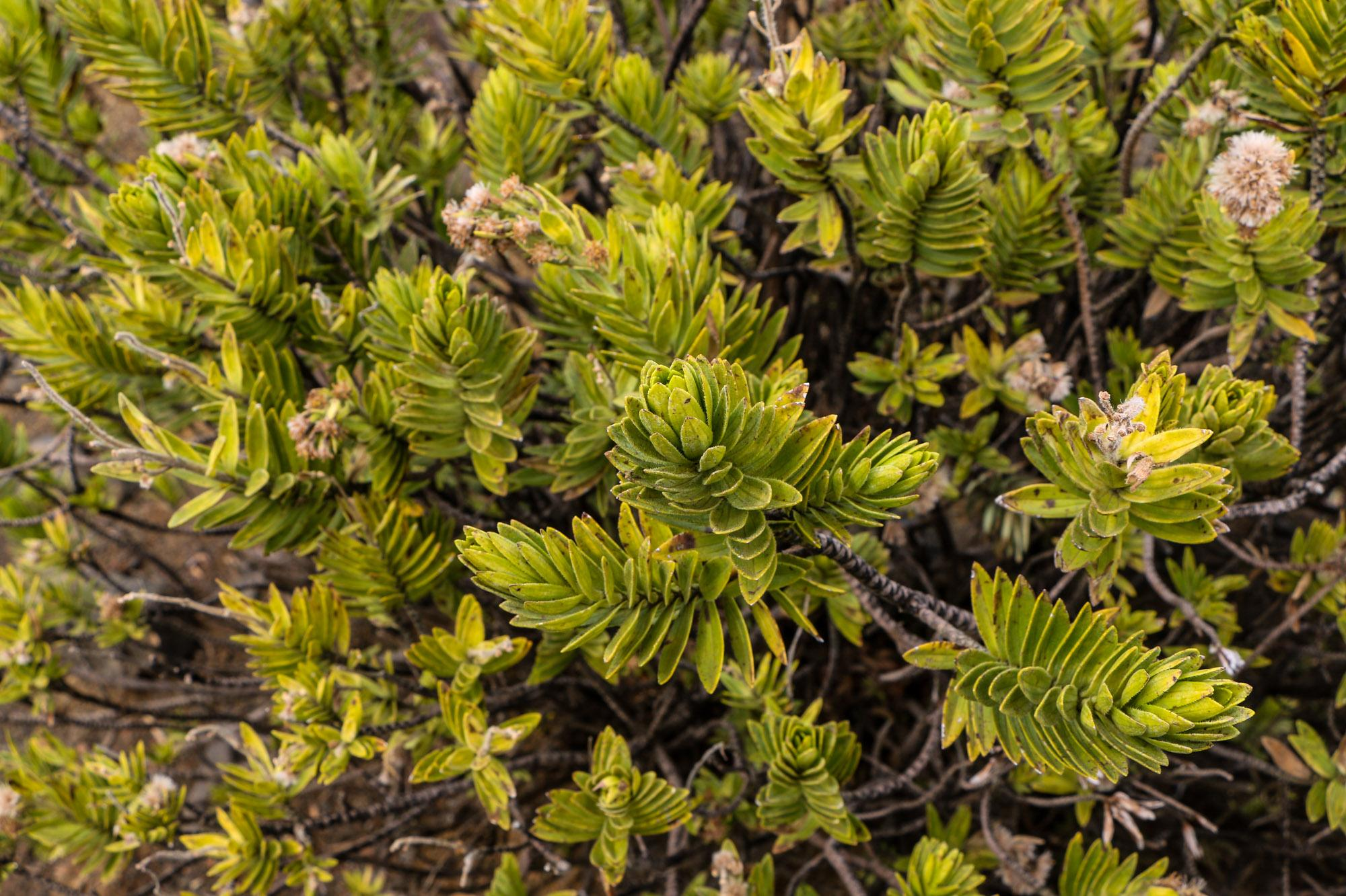 Na'ena'e are one of the more common shrubs on the descent.