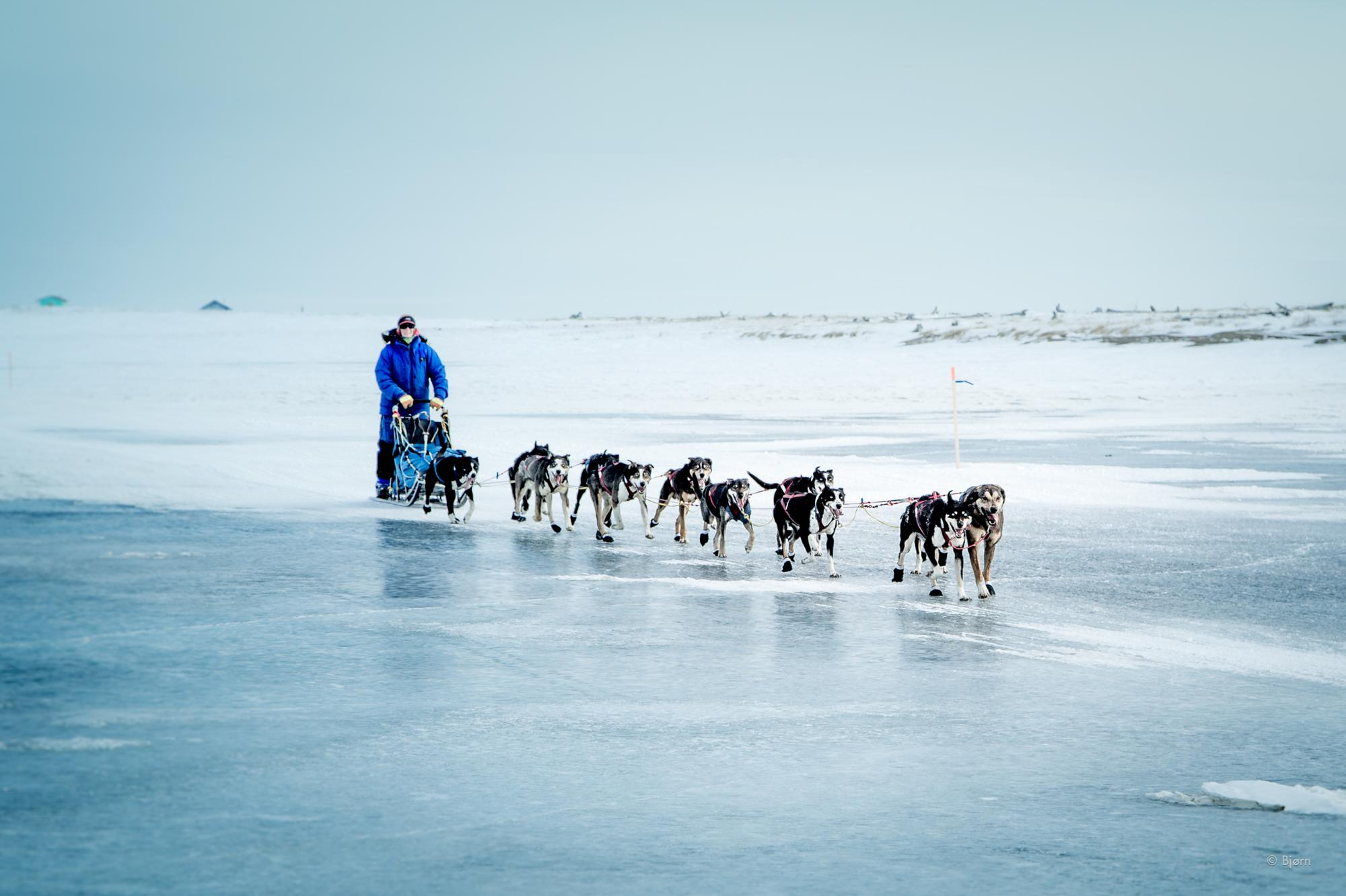 An Iditarod dog team make their way across glare ice near the finish line.
