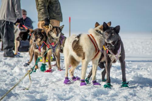 Dog teams prepare for the Kobuk 440 sled dog race in Kotzebue, Alaska.
