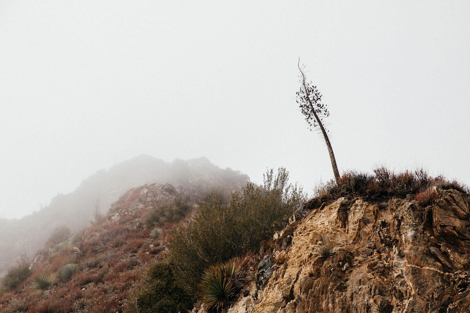 Spanish Bayonet bloom