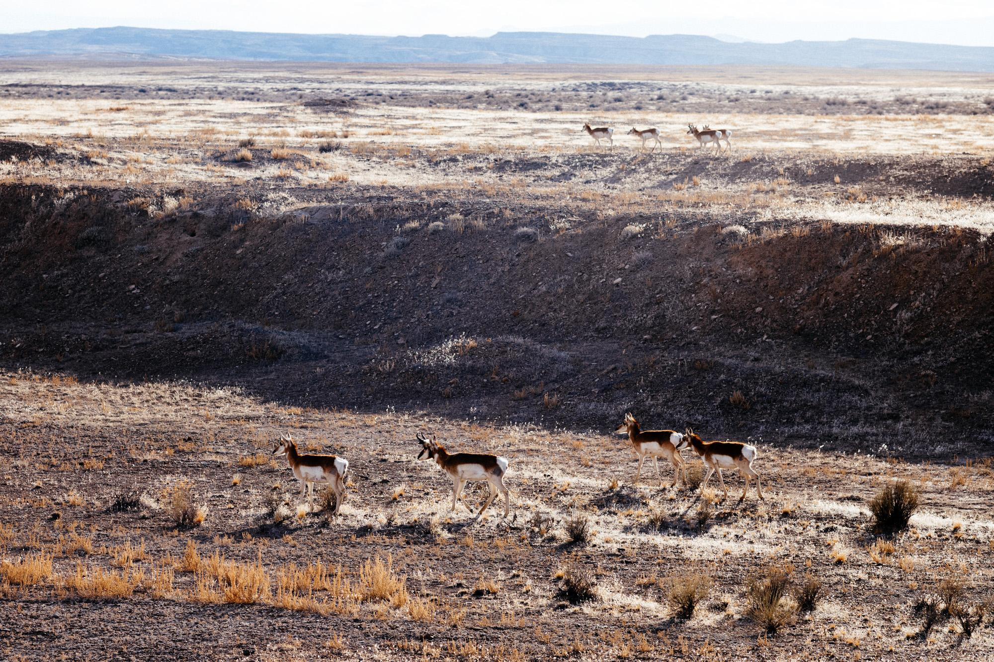 Pronghorn herd at sunset.