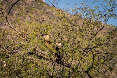 Pair of Caracara eagles