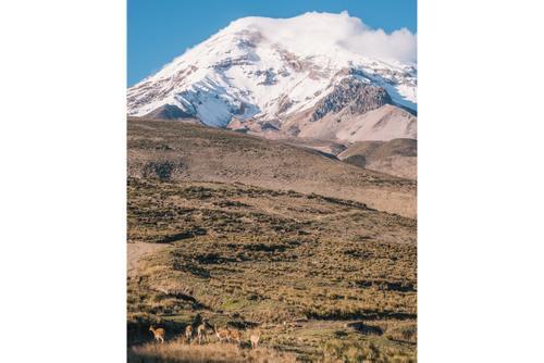 Vicuña and Chimborazo