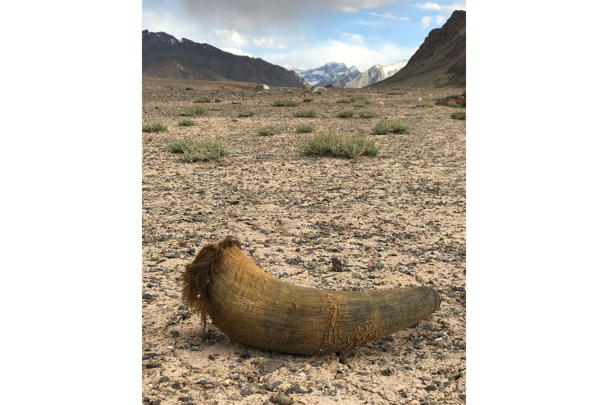 Horn from a Marco Polo sheep.