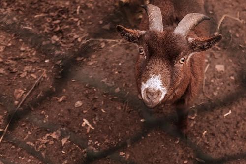 Goat Boy (or Girl)
