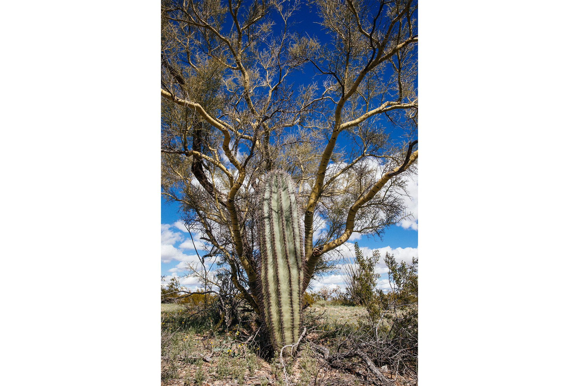 Saguaro and palo verde