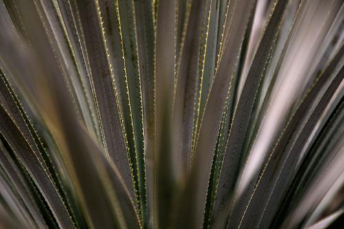 Detail of a desert agave. (Rugile Kaladyte)