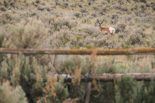 Pronghorn (Spencer Harding)