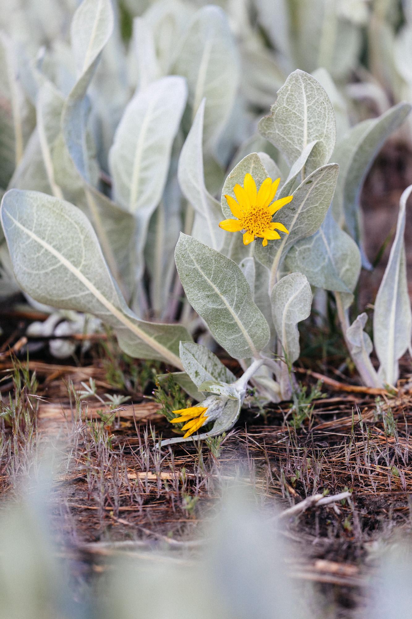 Wyethia mollis in bloom.