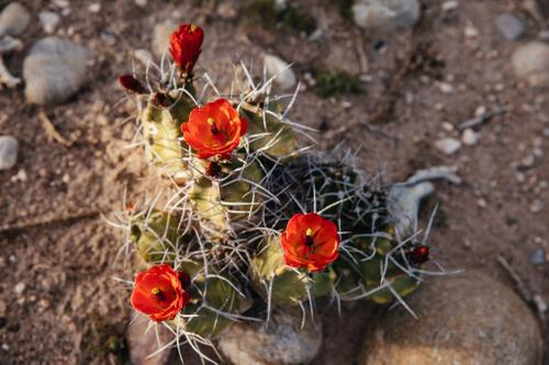 Echinocereus triglochidiatus - king cup cactus