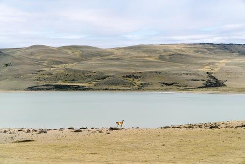 Guanaco keeping his distance
