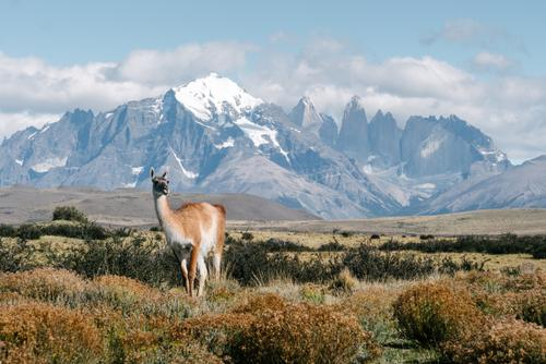 The Guanacos in Torres del Paine are not so shy