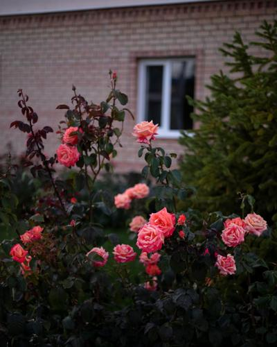 Roses in the courtyard near the finish. (Rugile Kaladyte)