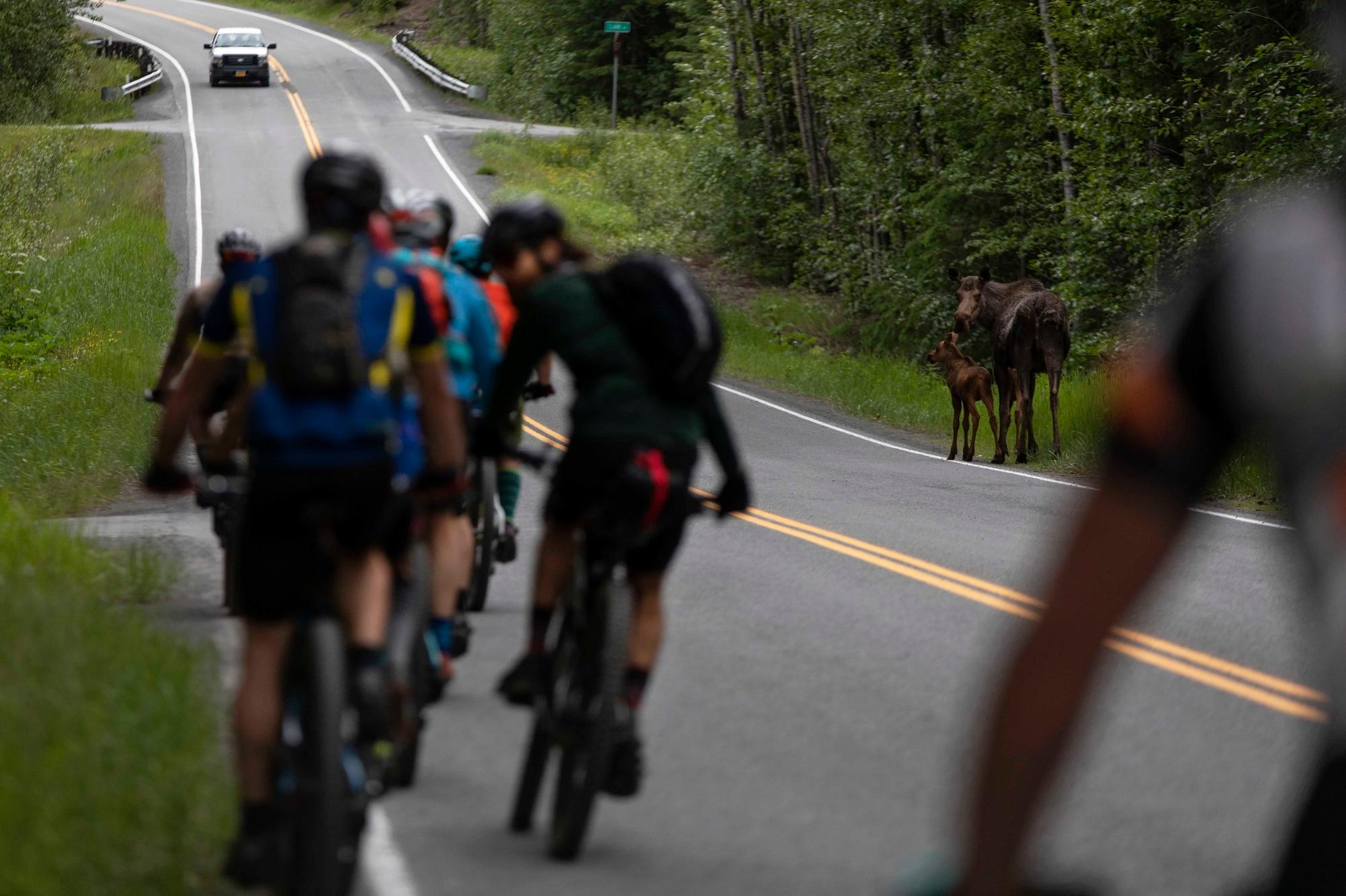 Moose at the start of the Kenai 250 in Hope, Alaska. (Rugile Kaladyte)