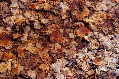 Frozen cottonwood leaves