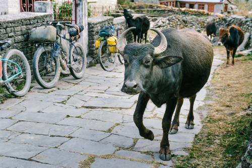 Buffalo stares
