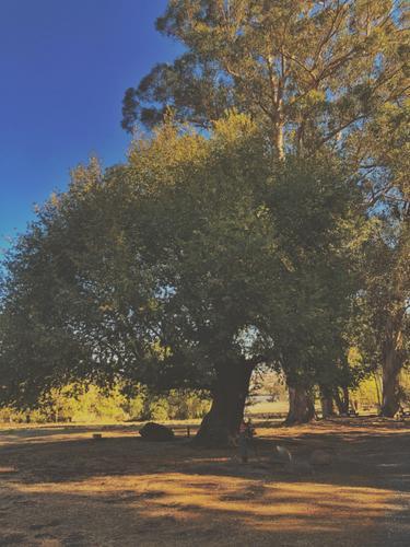 laurel tree