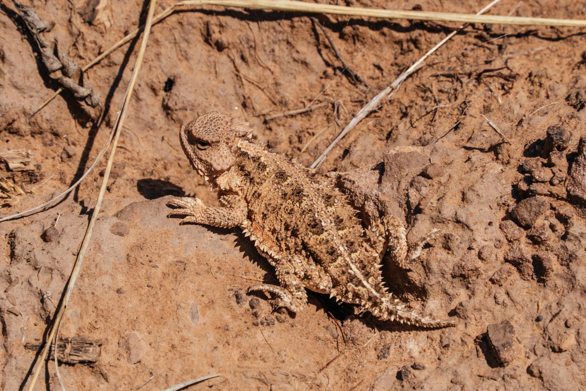 Greater short horned lizard