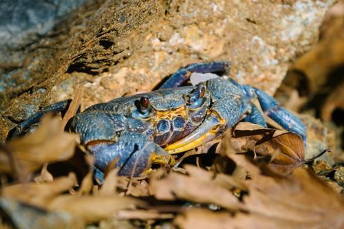 Mountain crab