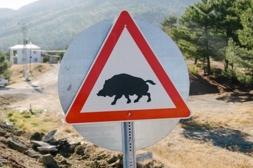Boar crossing